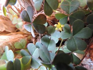 yellow oxalis (weed)