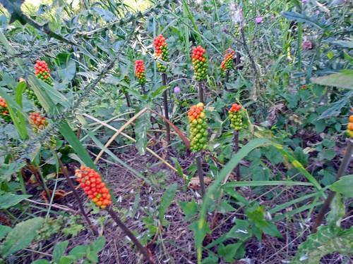 Arum italicum - Imágenes del Mundo Vegetal - Im. Plantas - Galería ... dc3ec14149d