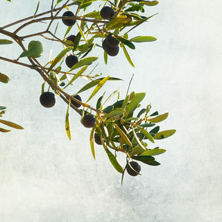 Olive branch | by Nick Kenrick.
