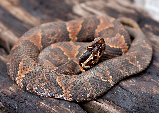 Flickr: The Cottonmouths (Water Moccasins) & Snakes ...