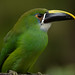 Aulacorhynchus prasinus -Explored-
