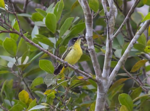 birds panama commontodyflycatcher todirostrumcinereum canopytower achioteroad