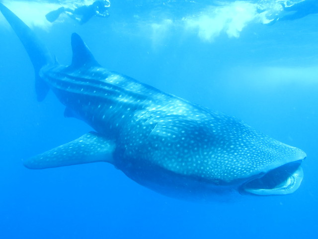 Whale Sharks 109