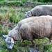 Las ovejas pastan en paz