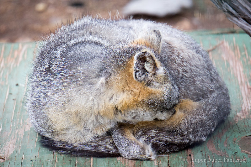 Wildlife West Nature Park - Gray Fox