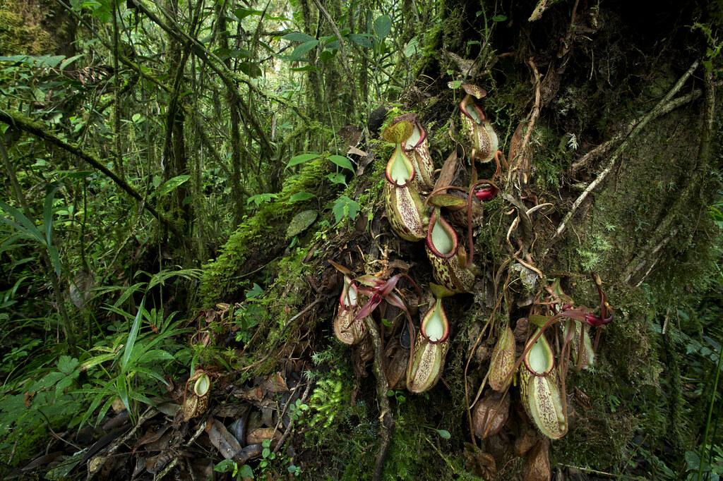 Carnivores et orchidées in situ  15680162045_41c069eb5c_b