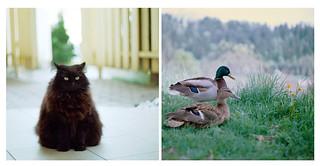 Triangle cat vs. Them ducks