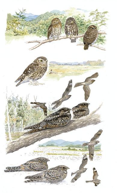 鳥類手繪圖_夜鷹科。(圖片來源:林務局提供)