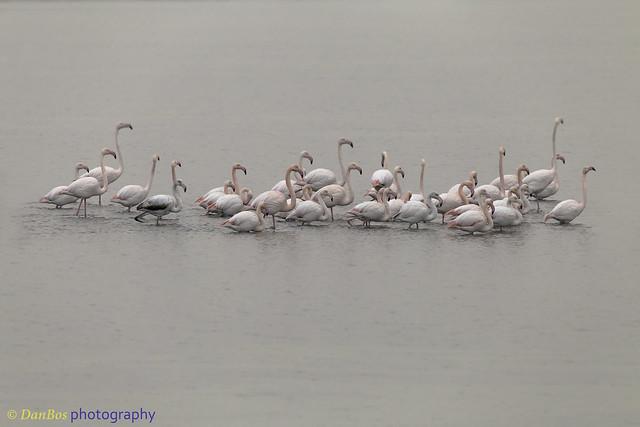 Flamingos Band