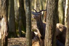 Jeune cerf à l'écoute