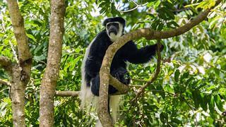 Colobus Monkey, Arusha National Park, Tanzania