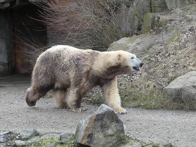 Nanuq, Zoo Hannover