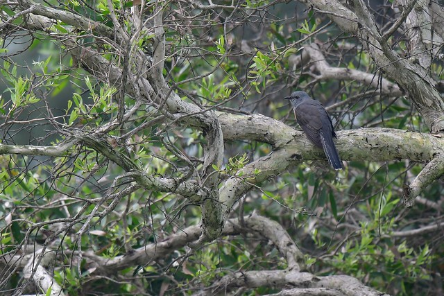 Plaintive Cuckoo 八聲杜鵑 DSC_2347