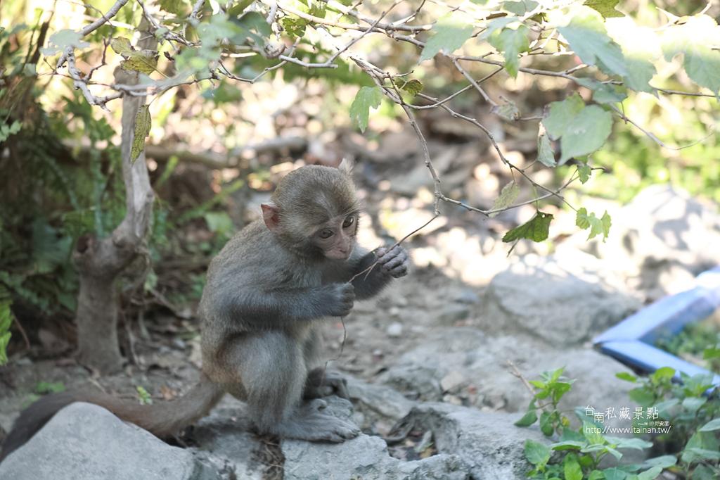 台灣獼猴 (21)
