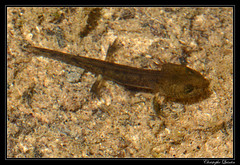 Larve de Salamandre (Salamandra salamandra)