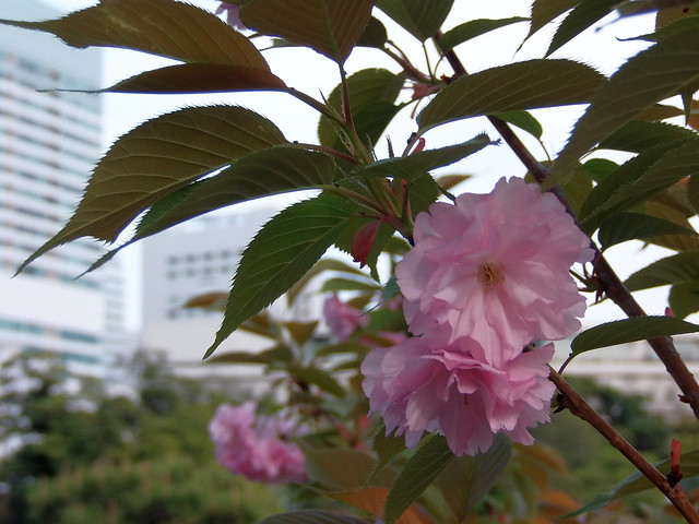 Photo:#1965 Prunus 'Kanzan' (カンザン) By Nemo's great uncle