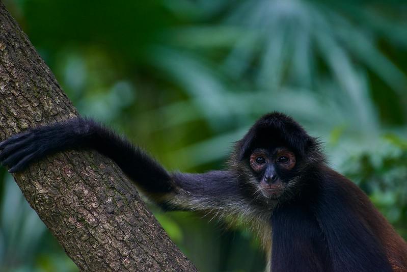 Black Spider Monkey - Belize