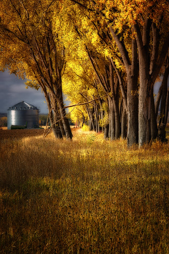 autumn trees sunlight color fall sunshine yellow farm bin foliage northdakota prairie bismarck cottonwoods havest