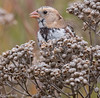 Harris's Sparrow Lurie Garden 10-20-14-3378
