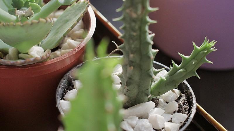 cactus (11)