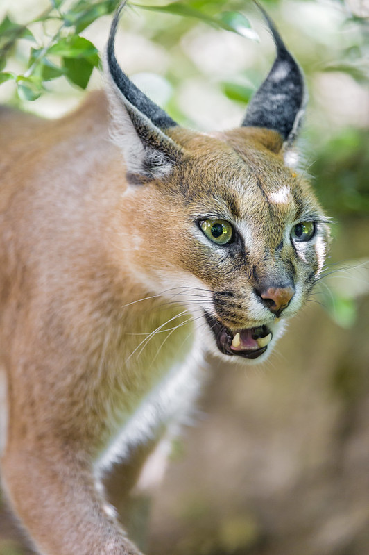 Close walking caracal