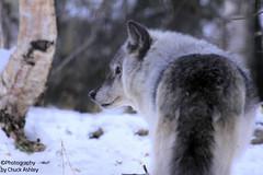 Silver Wolf W_8370