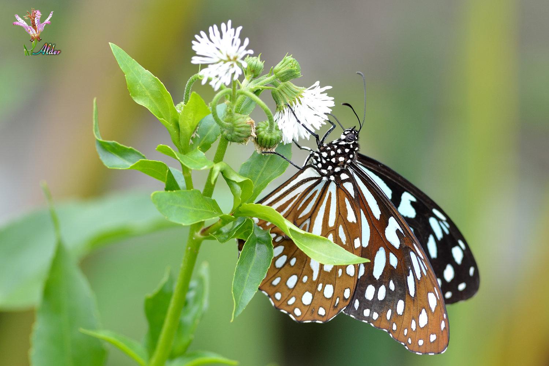 Butterfly_9081