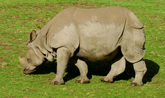 animal, horn, rhinoceros, fauna, wildlife,