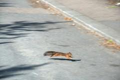 Red Squirrel Dash