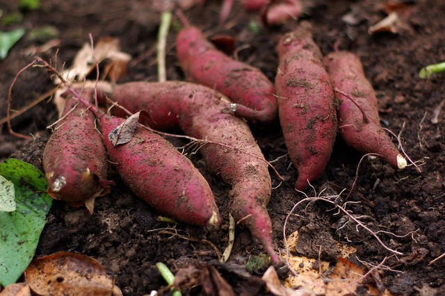 A bunch of sweet potatoes, unearthed by Eve Fox, The Garden of Eating, copyright 2014
