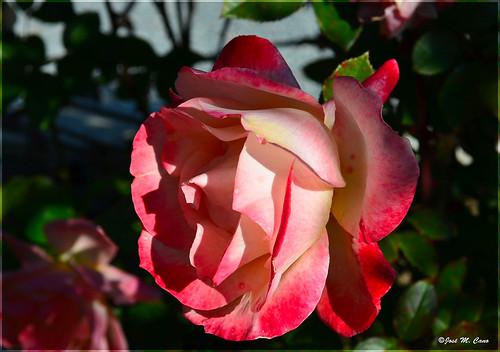 La efímera belleza de una rosa