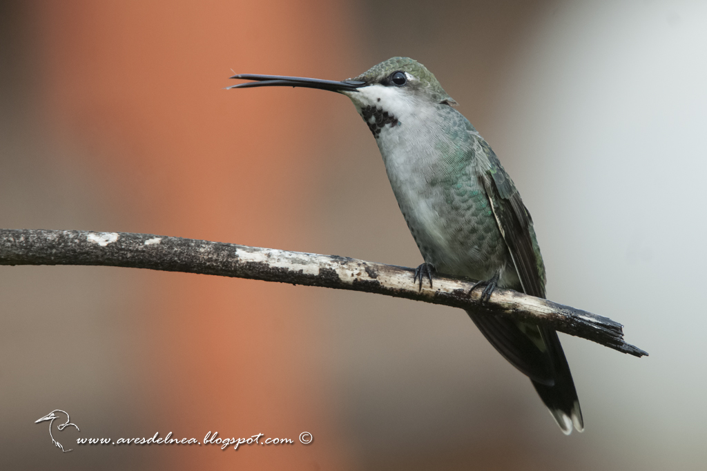 Picaflor picudo (Long-billed Starthroat) Heliomaster longirostris