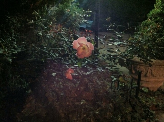 Night time rose