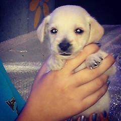 Tadinho... Mau veio ao mundo e querem vende-lo como poodle... Hahahahaha #dog #fakepoodle #instabrasil #édessejeito #foraPT #instapop #instariodejaneiro #i #f #verdade #riodejaneiro #b #aecio45 #mudabrasil #obrasildecidiuMUDAR #instacapture