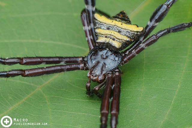 Doleschall's Cross Spider- Argiope doleschalli ♀