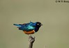Shiney Bird