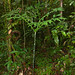 Small photo of Araceae (Amorphophallus hewittii)