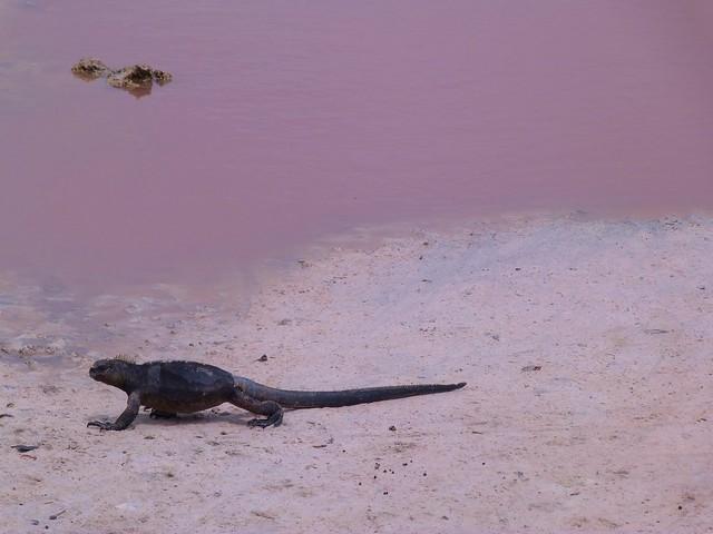 Iguana marina de Galápagos caminando