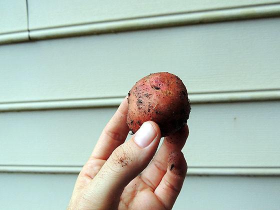 Sweet Potato-16
