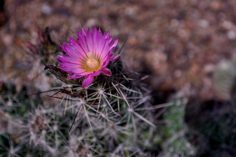Cactus Flower - Phoenix