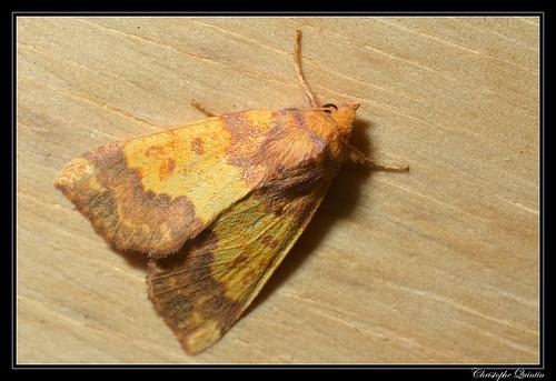 Xanthie dorée (Tiliacea aurago)