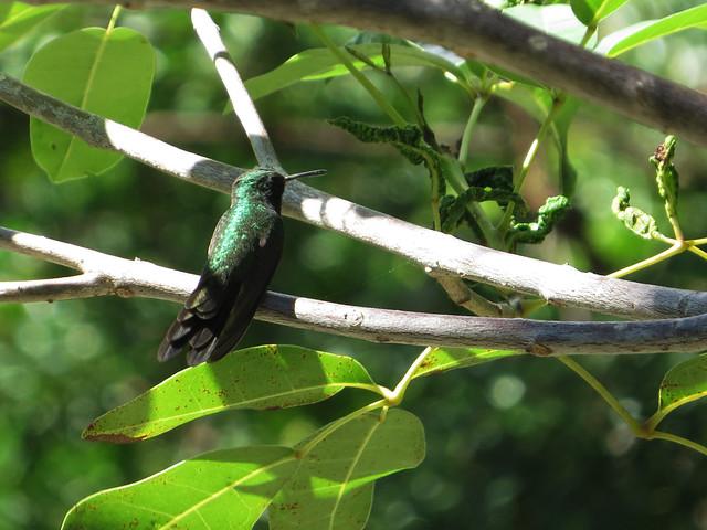 Cuban Emerald (Chlorostilbon ricordii))
