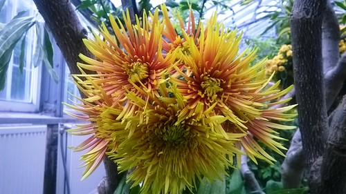 Chrysanthemum Red Yellow