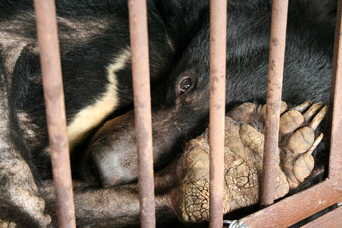 Bears' mobility is seriously damaged by this cruel cage
