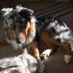 Wasting the day in the sunlight. #miniaussie #aussielove #americanshepherd #catsanddogs