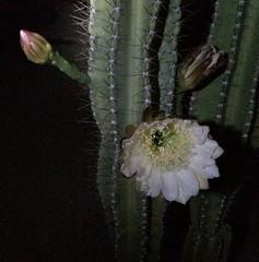 Cactus Flower (Fencepost)