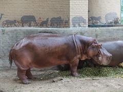 Hippopotamus @ Lahore Zoo