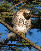 Red-tailed Hawk - Extreme curiosity