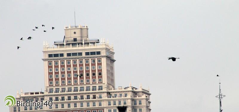 Grey Heron and Monk Parakeets with the Edificio España at the far