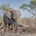 Small photo of Afrikanischer Elefant / African Bush Elephant